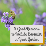 3 Reasons to Include Lavender in Your Garden