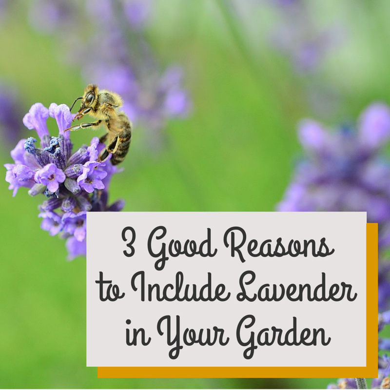 good reasons to include lavender in your garden