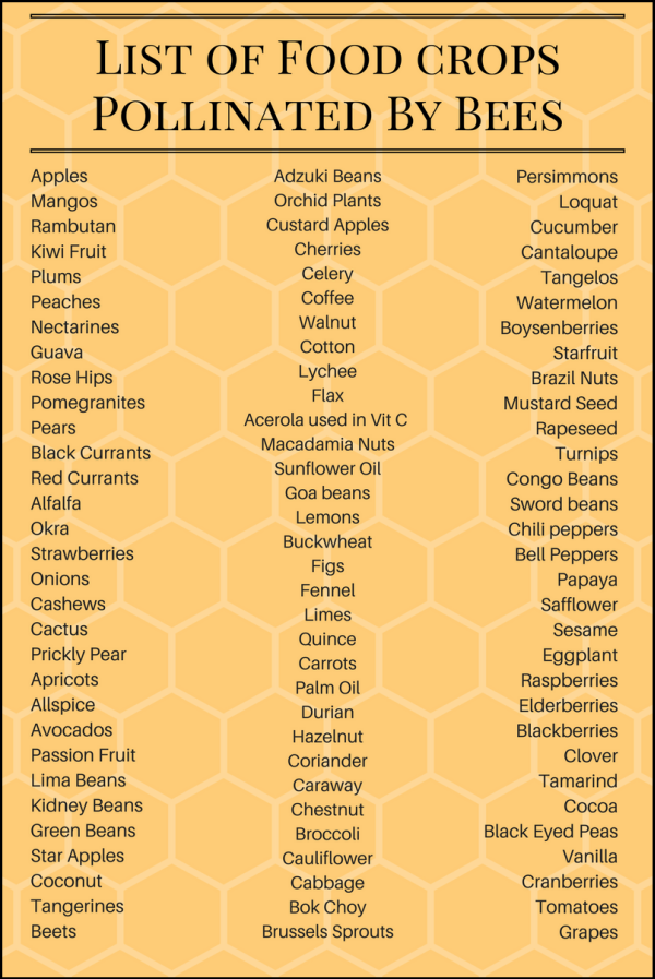 list of SOME of the food pollinated by bees:      Apples     Mangos     Rambutan     Kiwi Fruit     Plums     Peaches     Nectarines     Guava     Rose Hips     Pomegranites     Pears     Black and Red Currants     Alfalfa     Okra     Strawberries     Onions     Cashews     Cactus     Prickly Pear     Apricots     Allspice     Avocados     Passion Fruit     Lima Beans     Kidney Beans     Adzuki Beans     Green Beans     Orchid Plants     Custard Apples     Cherries     Celery     Coffee     Walnut     Cotton     Lychee     Flax     Acerola – used in Vitamin C supplements     Macadamia Nuts     Sunflower Oil     Goa beans     Lemons     Buckwheat     Figs     Fennel     Limes     Quince     Carrots     Persimmons     Palm Oil     Loquat     Durian     Cucumber     Hazelnut     Cantaloupe     Tangelos     Coriander     Caraway     Chestnut     Watermelon     Star Apples     Coconut     Tangerines     Boysenberries     Starfruit     Brazil Nuts      Beets     Mustard Seed     Rapeseed     Broccoli     Cauliflower     Cabbage     Brussels Sprouts     Bok Choy (Chinese Cabbage)     Turnips     Congo Beans     Sword beans     Chili peppers, red peppers, bell peppers, green peppers     Papaya     Safflower     Sesame     Eggplant     Raspberries     Elderberries     Blackberries     Clover     Tamarind     Cocoa     Black Eyed Peas     Vanilla     Cranberries     Tomatoes     Grapes