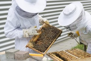 beekeepers inspecting hive boards