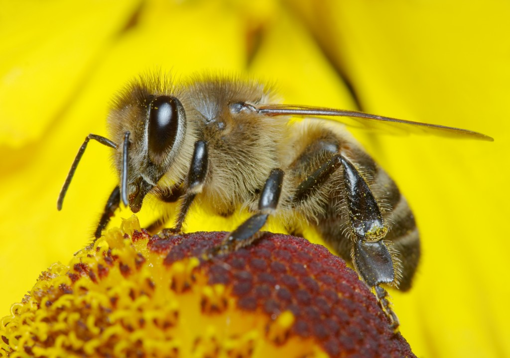 Bee in pollen on a flower (image credit; purchased from Shutterstock)